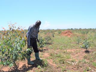 Epodoi checks on Soroti Joint Medical Services Limited's young Eucalyptus trees ©FAO/AnitaTibasaaga