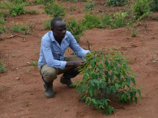 Ssekidde tends a young tree in his plantation in Luwero District