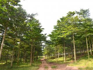 An eight-year old Terminalia superba plantation at Prof Peter Kasenene's plantation in Mubende.