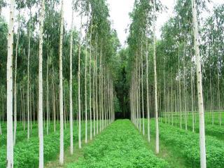 Eucalyptus is self-pruning